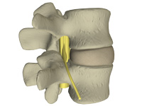the disc pressure holds vertebrae apart